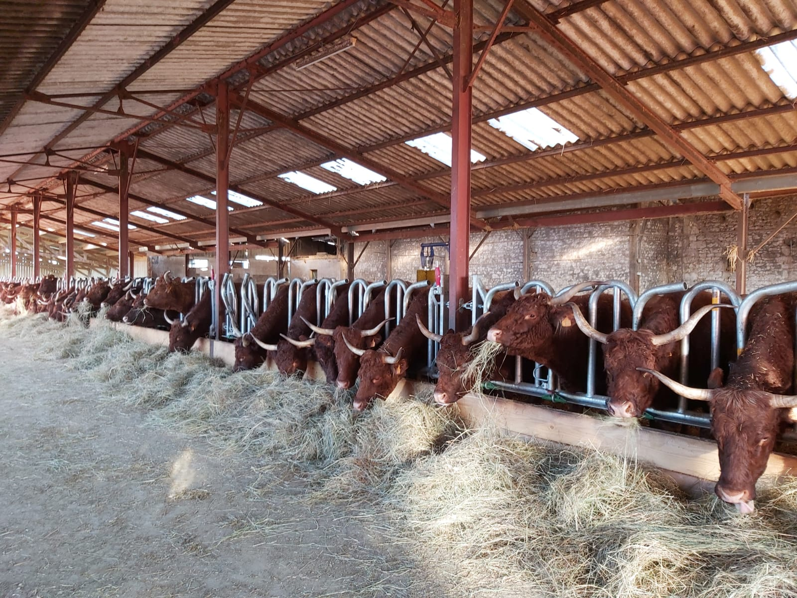 Cornadiza vacas con cuernos: FESTÓN CON BLOQUEO AUTOMÁTICO JOURDAIN