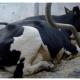 ¿Sabes qué es el Cow Confort?